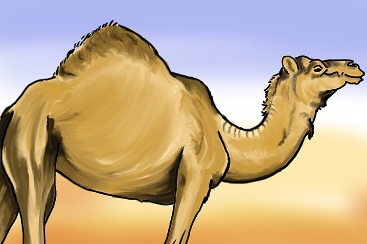 Camels can store extra energy in the hump and helps the body to cool down in hot temperatures