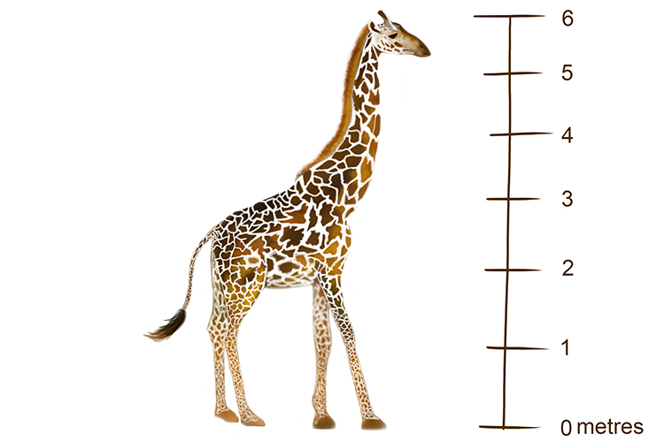 The long neck of the giraffe is an anatomical adaptation which allows it to reach the highest leaves of the acacia tree