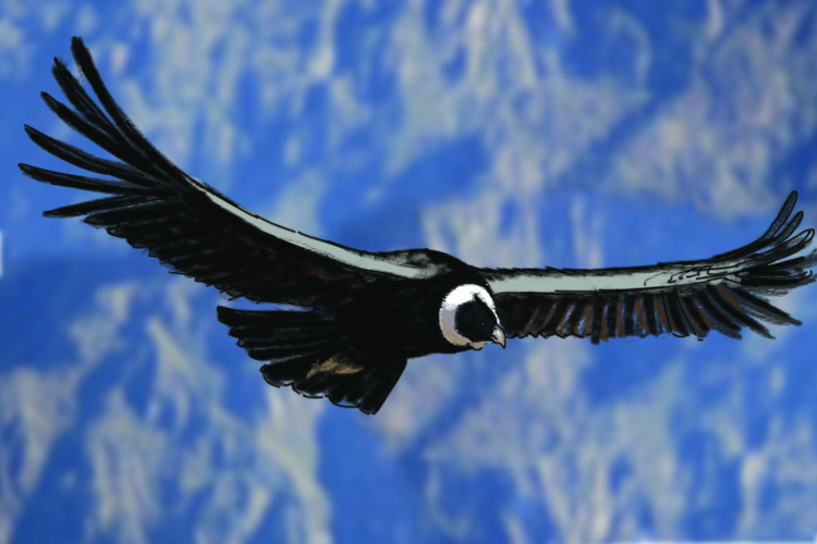 Condors have large wing spans so they can travel long distances on thermals