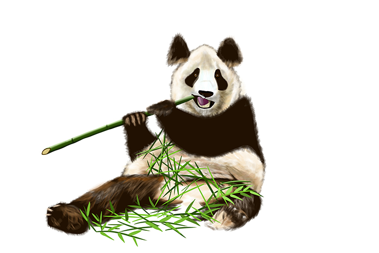 Giant pandas eat bamboo only