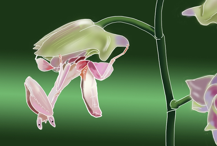 Orchid mantis plant has grown limbs and can be found amongst orchid flowers waiting to pounce on insects to trap