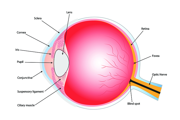 A diagram showing the structure of the human eye, annotating the main features