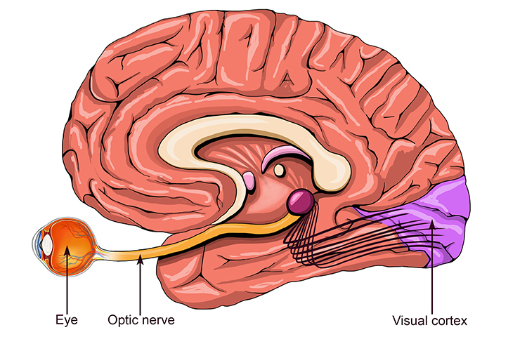 The optical nerve carries information to be translated at the visual cortex.