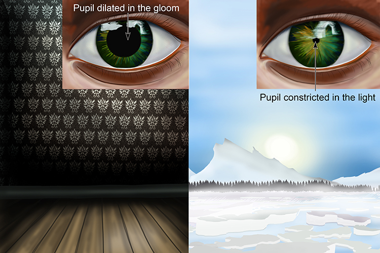In a darker environment the pupil is dilated and in lighter environments it is small
