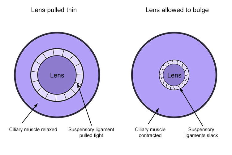 Ciliary muscles and suspensory ligaments connected to lens