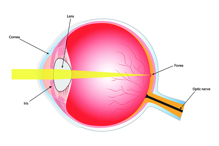 Image showing the fovea depression where the point of light will be directed the most