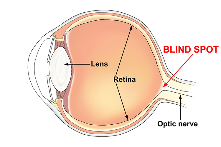 Blind spot eye anatomy human eye diagram blind spot gallery how to guide and ccuart Images
