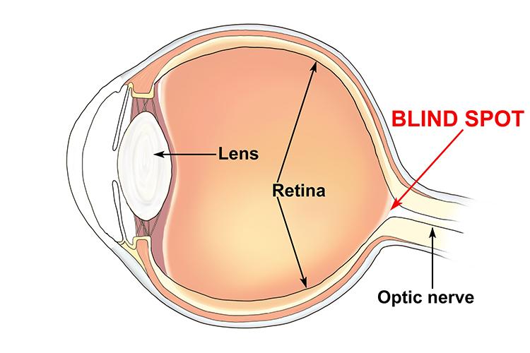 Blind Spot Anatomy