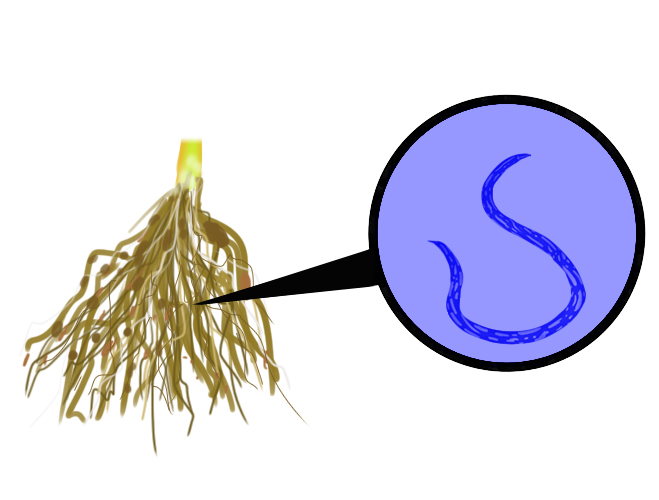 Magnification of the root-knot nematode a parasite that lives in soil and can damage crops