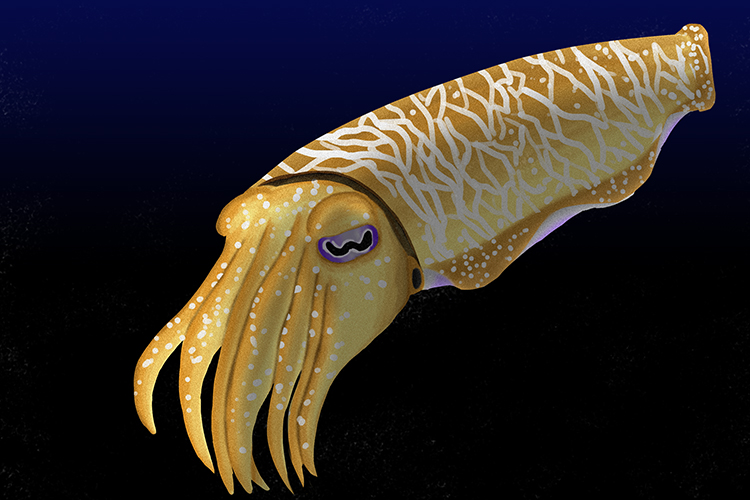 An image of a cuttlefish, an example of a mollusc, despite having fish in its name it is indeed a mollusc