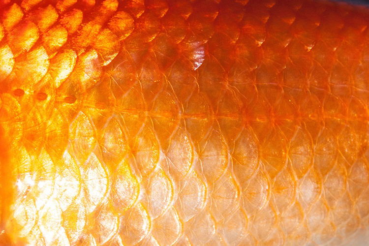 A picture showing wet scales belongs to the sub category fish as one of the five