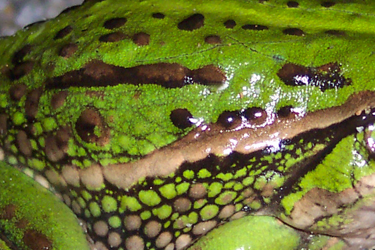 A picture showing moist skin belongs to the sub category amphibians as one of the five