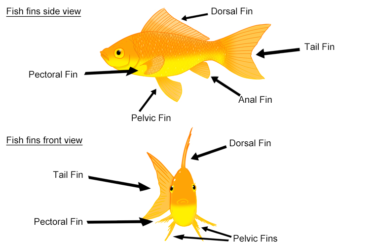 Annotated image of front and side view of fins on a fish