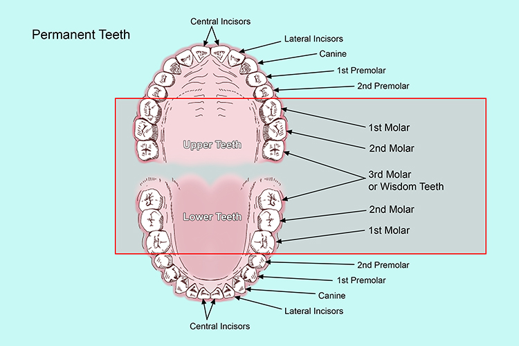 Molars can be found at the back of the mouth next to the premolars