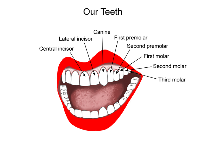 Summary showing all 32 teeth in the human mouth
