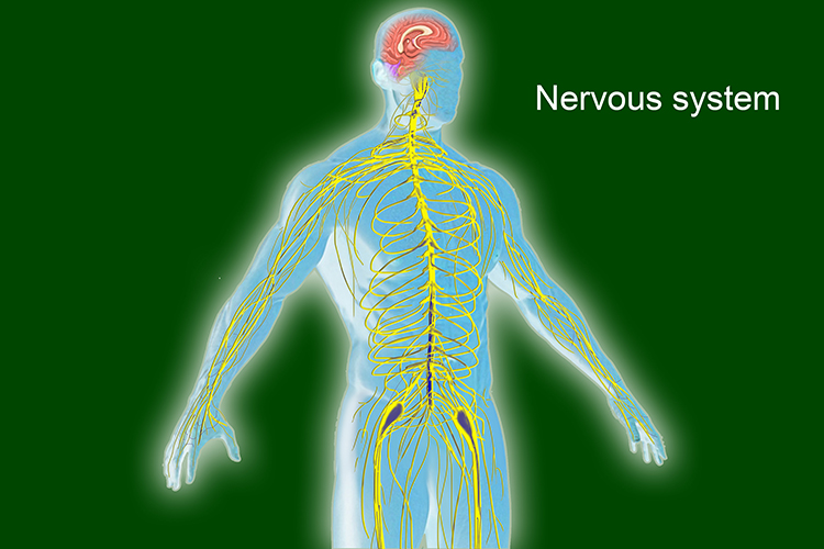 Image showing the nervous system, this is a network of sensors telling the brain the body needs to change