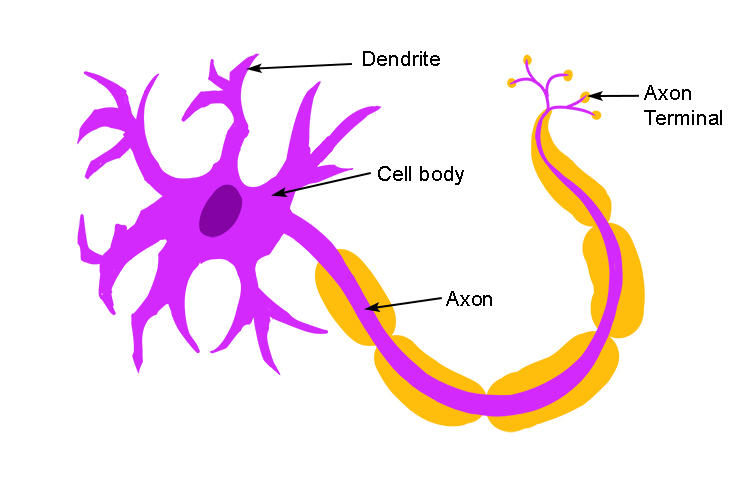 The neurone cell consists of a wide cell body which detects change and a long axon that carries signals to the brain axon termination