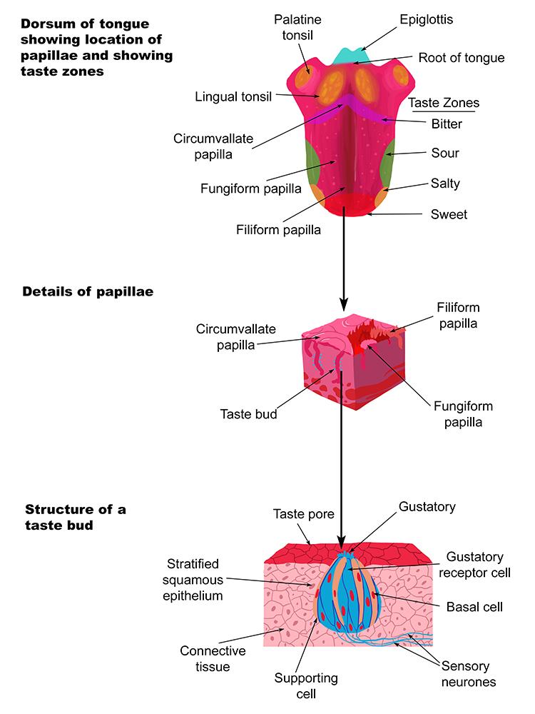 Diagram Of Taste Receptors Auto Electrical Wiring Diagram