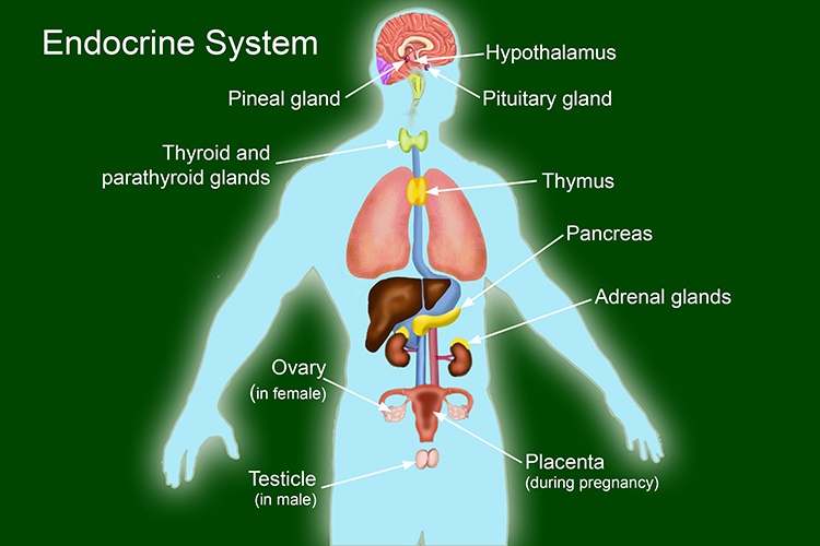Image showing the endocrine system that changes the body through chemicals in response with the nervous system