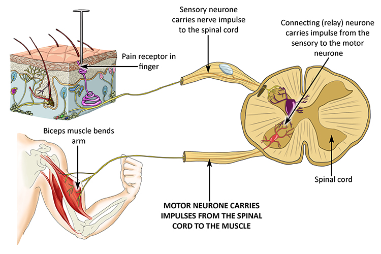 A diagram showing how pain travels from the receptor to the spinal cord to the motor neurone to engage the muscle