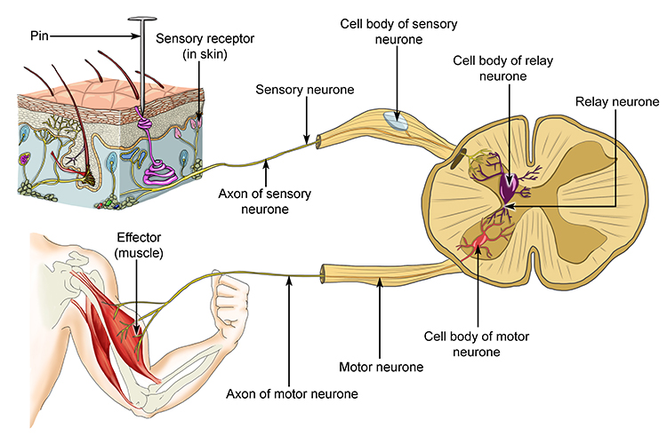 Diagram showing how pain is picked up by a skin receptor, the signal is sent along the sensory neurone to the spine