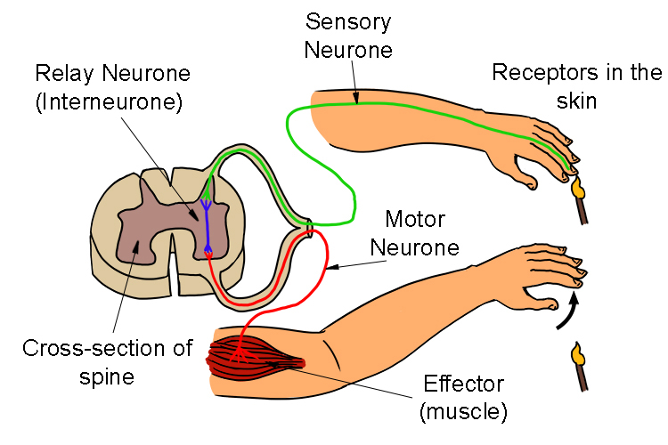 the relay neurone passes signals onto the correct motor neurone usually in the spine or brain