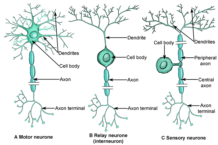 Diagram showing the different structures of the 3 neurone cells and how they differ