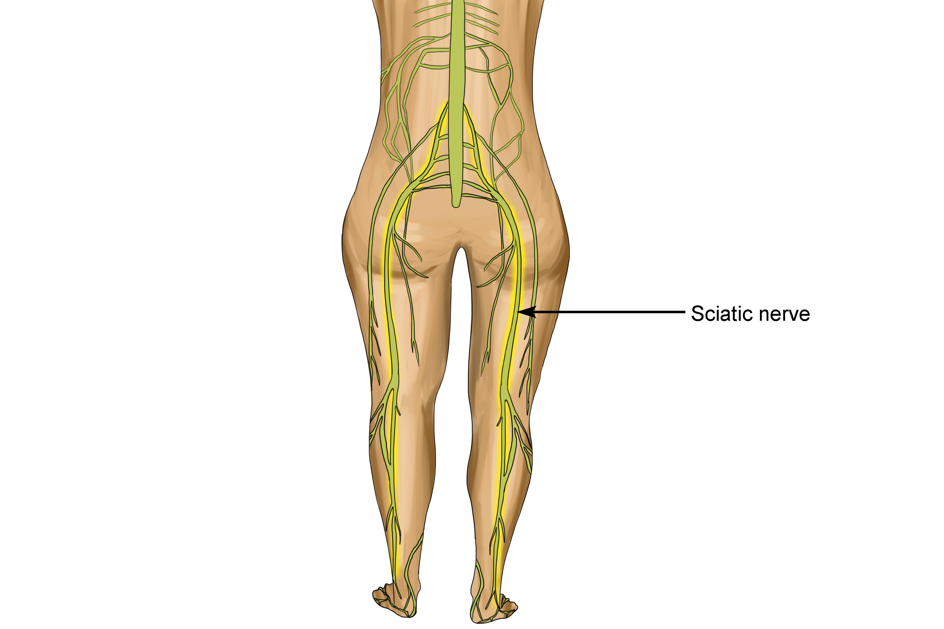 Sciatic Nerve Is The Longest In The Body From Spine To Toe