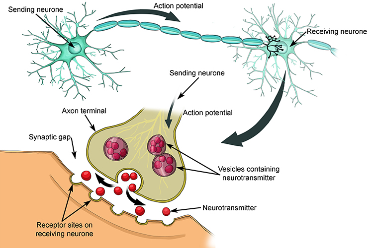 Diagram showing how a neurone sends the signal to the next cell through neurotransmission