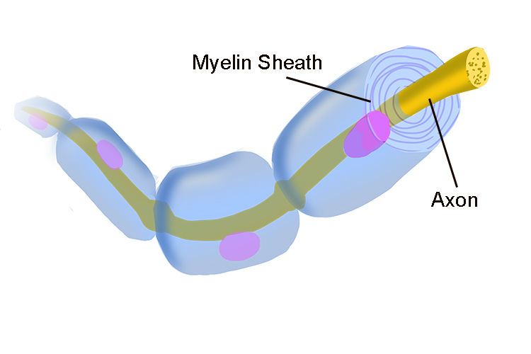 Image showing the myelin sheath containing the axon