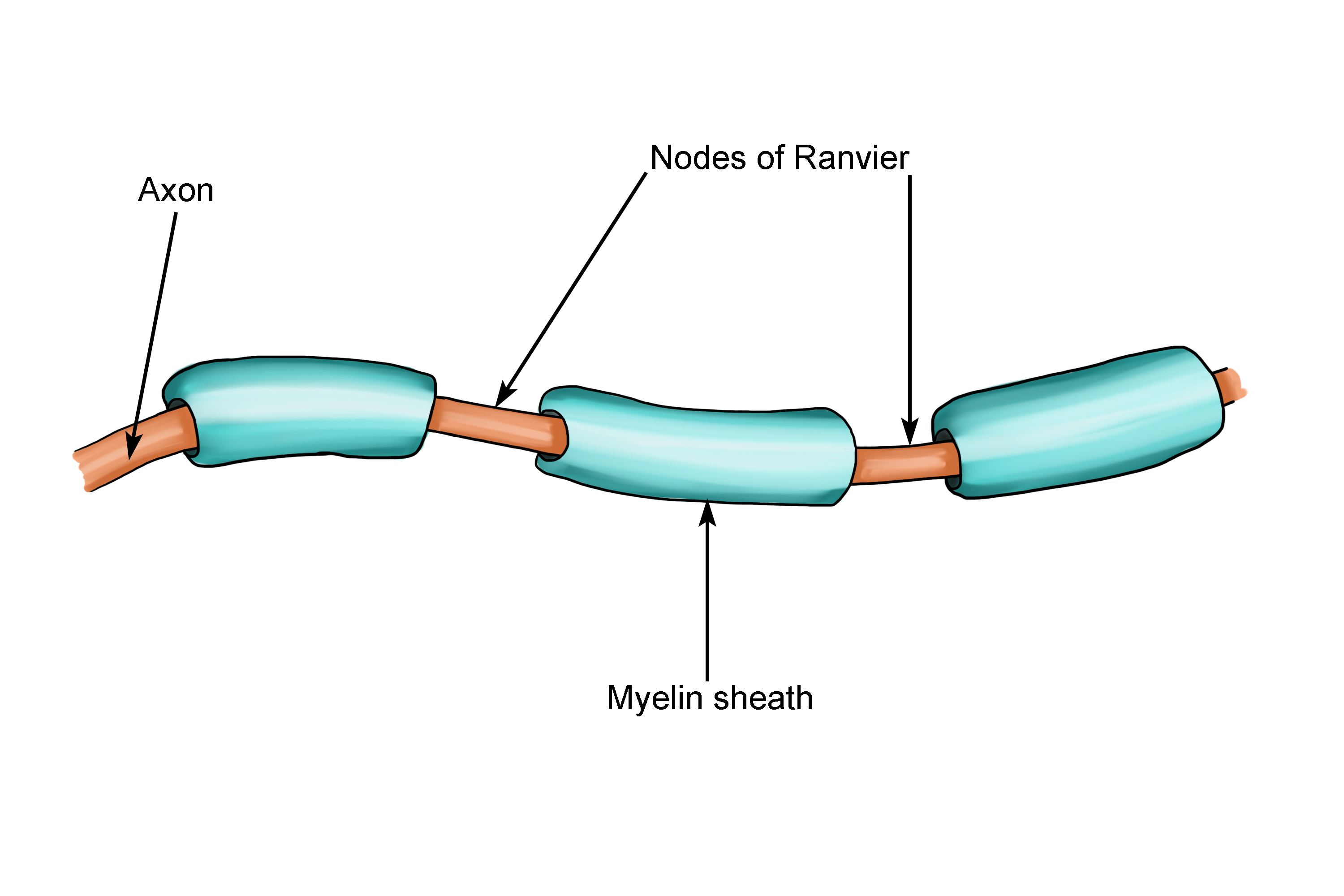 Diagram showing the consecutive gaps of Ranvier and the myelin sheath