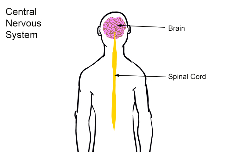 The complex of tissues can be found in the brain and spinal cord, its job is to coordinate responses from the peripheral nervous system