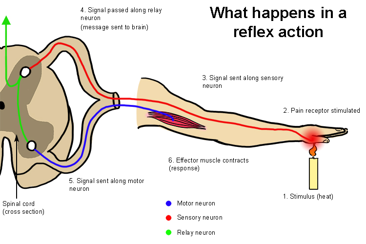 The reflex action is very fast but does not use the brain diagram shows that stimulation like heat and cold dont involve the brain at it ccuart Choice Image
