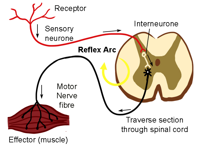 The reflex arc is the redirection of signals straight back to effector muscles to move away from danger, this happens in the spinal cord but does send a message to the brain about what has happened