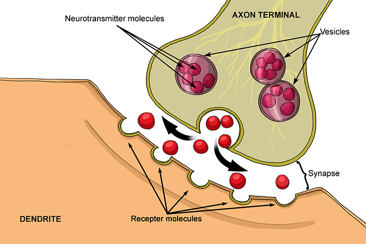 Synapse Is The Gap Between Neurones That Transmits Signals