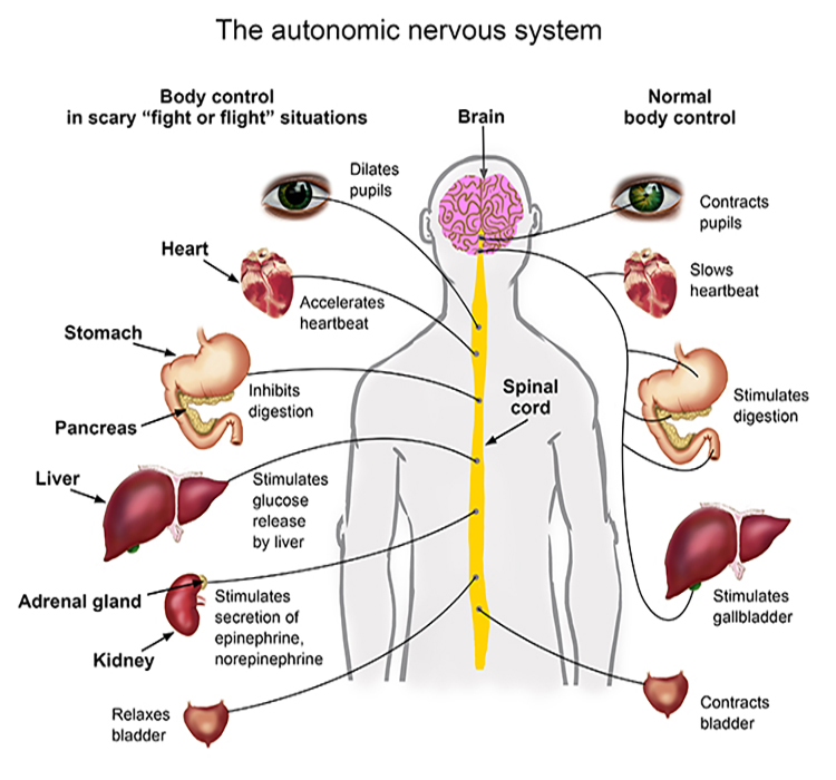 Diagram showing all the organs involved with the  autonomic system