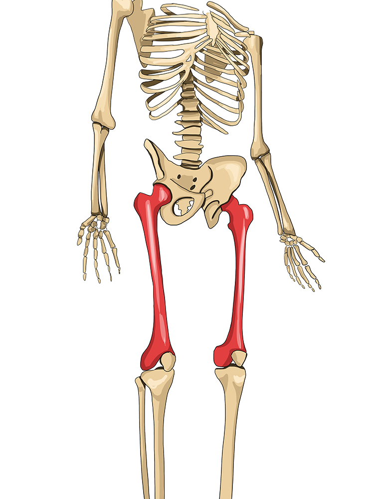 The femur is located between the pelvis and the knee of humans