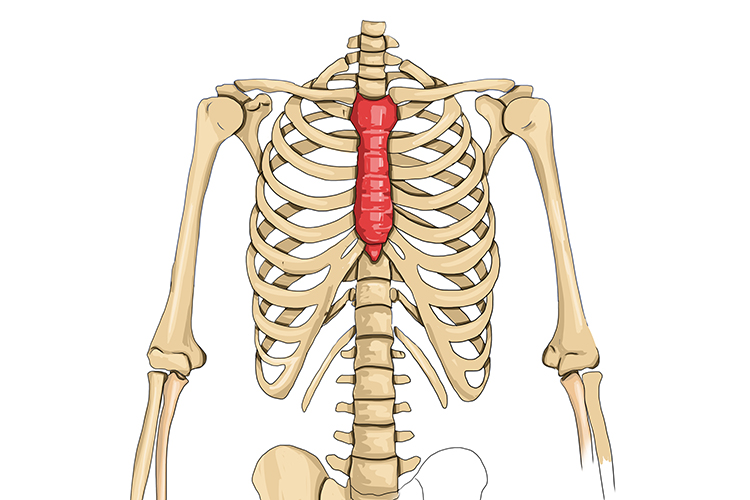 The sternum in the chest forms the rib cage protecting all vital organs