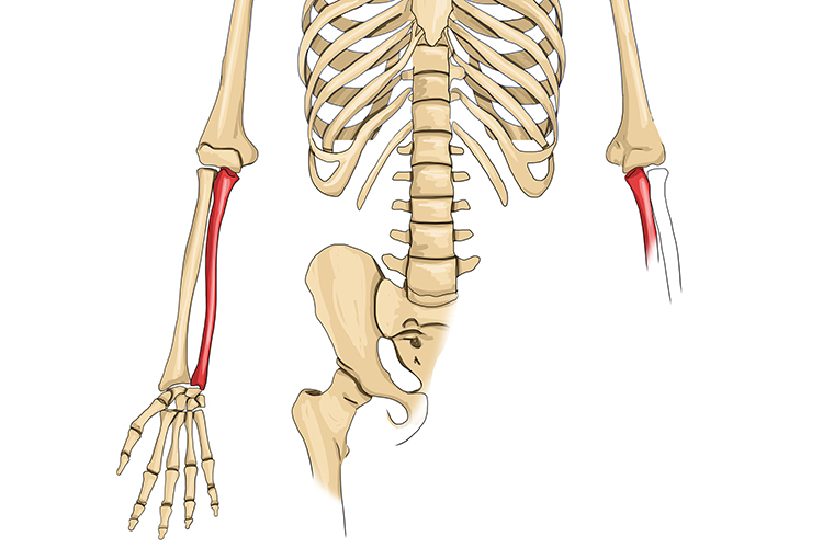 The ulna is the second bone that is parallel to the radius
