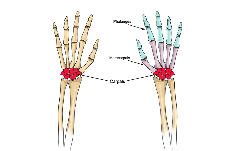 The carpals connect the radius, ulna and fingers the fingers are able to move freely because of the bone separation in the carpals