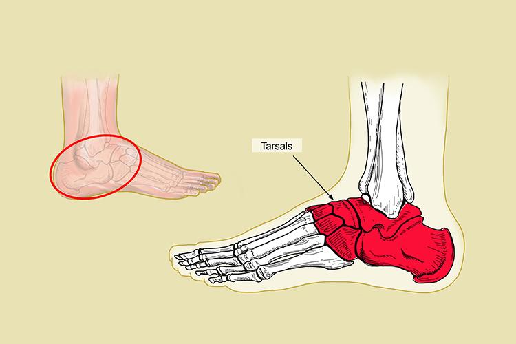 The tarsal bones connect the metatarsal bones up with the tibia and fibula