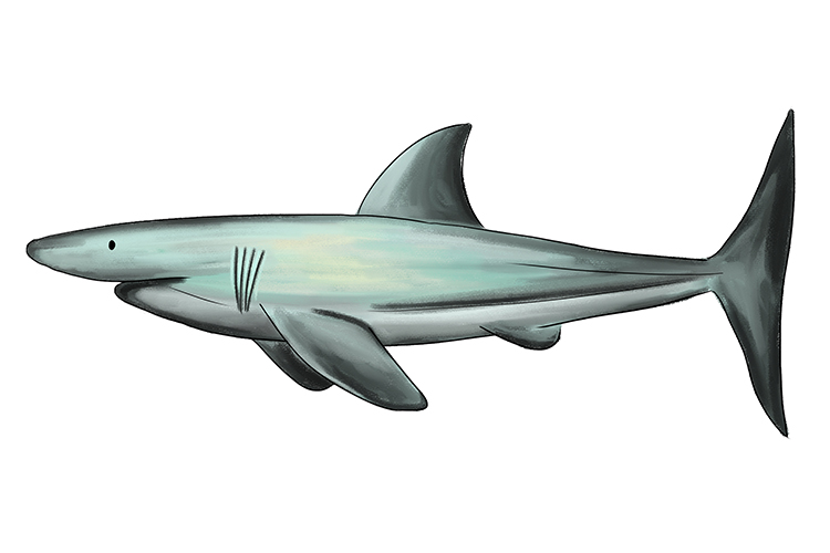 Image of a shark has an endoskeleton