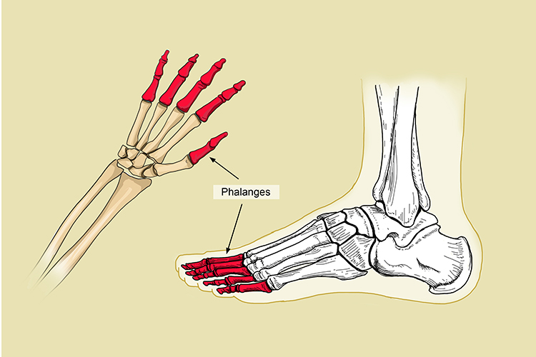 Phalanges are connected to the metatarsals in the foot and metacarpals in the hand, these are able to move separately