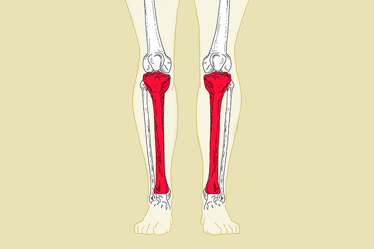 The tibia is one of 2 bones that connect the knee with the ankle (tarsal region)