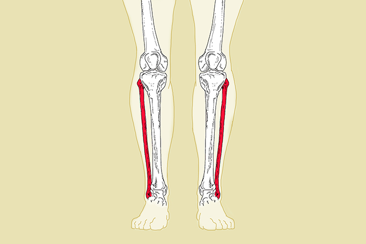 Fibula bone runs parallel with the tibia and connect the knee with the ankle