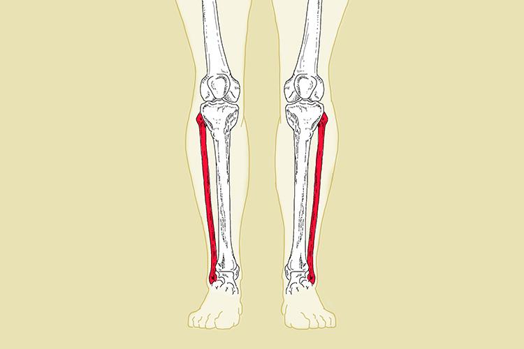 The Fibula Calf Bone Is Parallel With The Tibia Bone