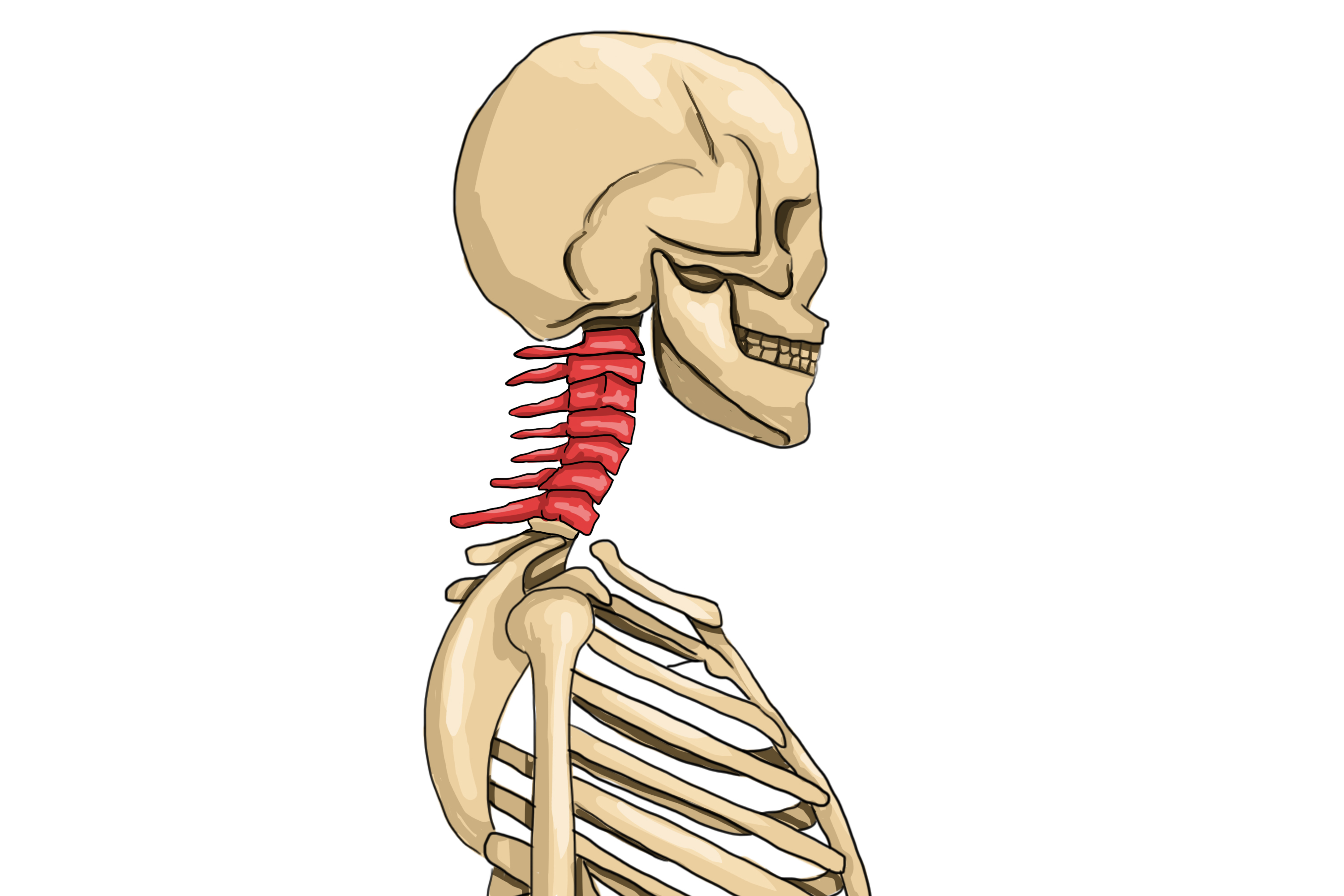 The cervical region is found from the skull 7 vertebrae downwards in the neck