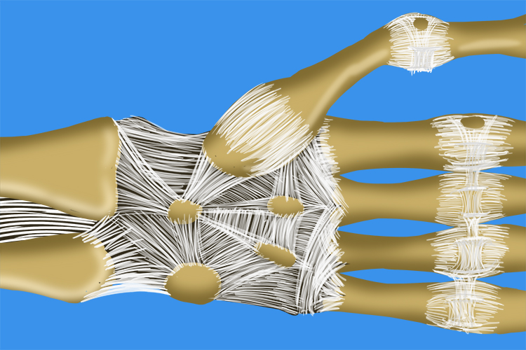 Image showing the bones in the hand are all connected to others by ligaments