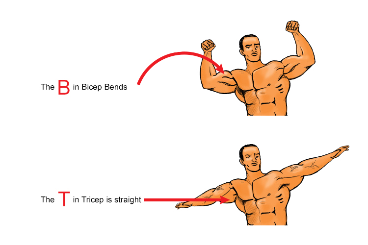 the bicep and tricep muscles can be found in the arm