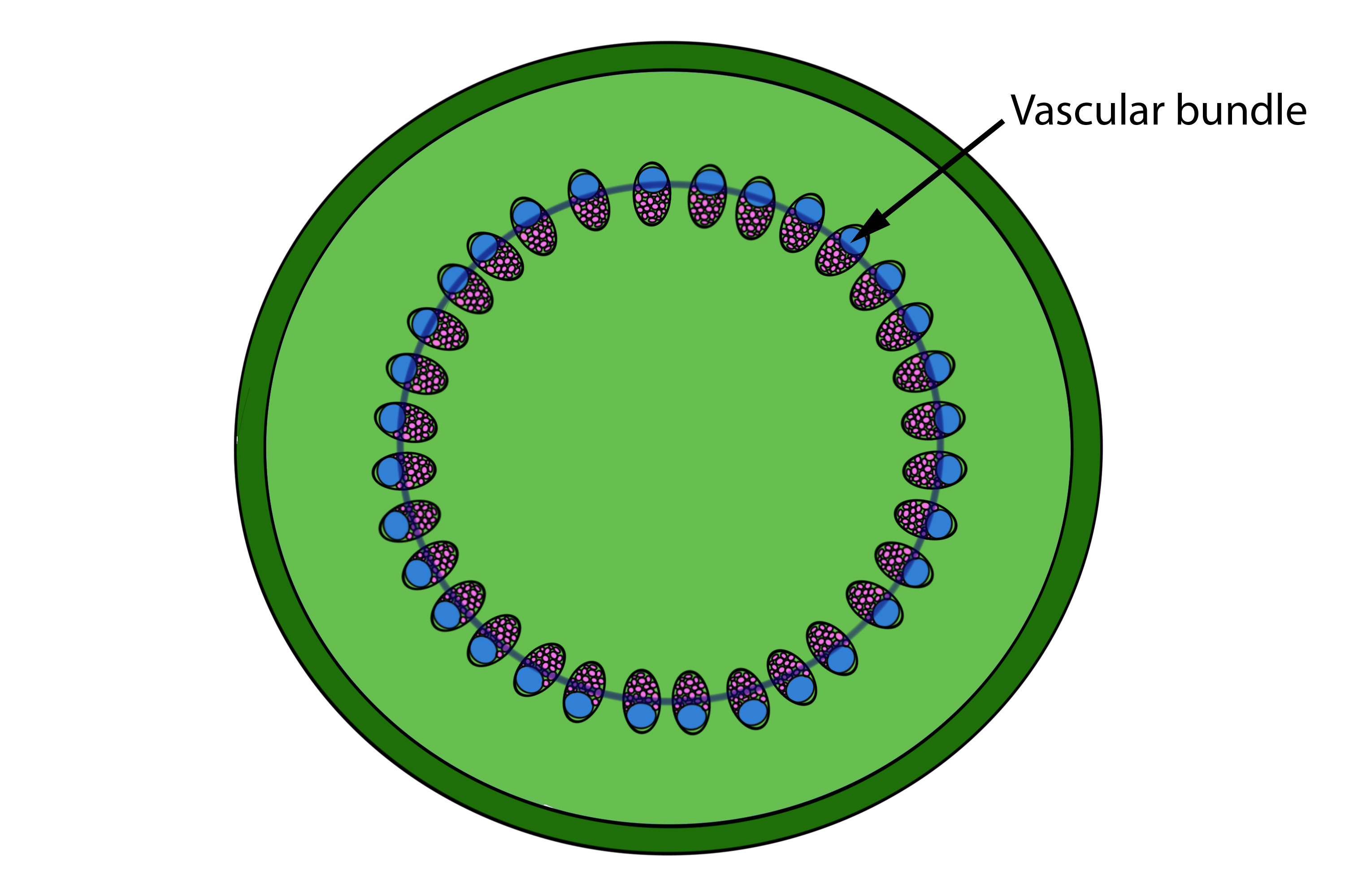 Mnemonic to remember the difference of stem vascular bundles